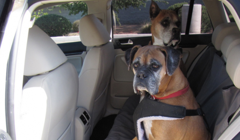 Dogs Love Volkswagens, Dogs Riding in Cars